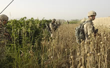 Zjarey, Afghanistan. 9 July 2006 – Canadian Forces soldiers advance through fields of grapes and dried up poppies within the Zjarey district, west of Kandahar, in a joint Afghan National Army and Coalition security operation to remove Taliban forces from the area. (Photo by MCpl Robert Bottrill, Canadian Forces Combat Camera)